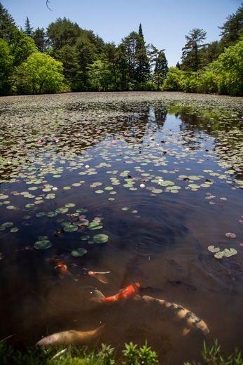 蛇の池の睡蓮へ (非常事態宣言が解除されて )